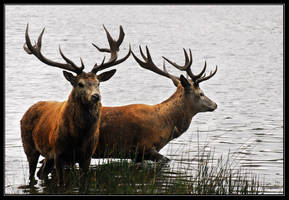 Red deer by HairyToes