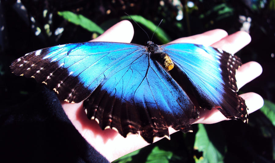 blue butterfly group - photo #21