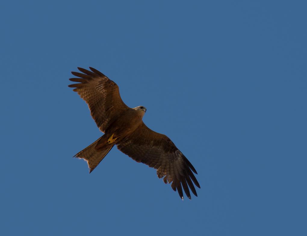 black kite by dottys-friend
