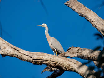 White faced heron by dottys-friend