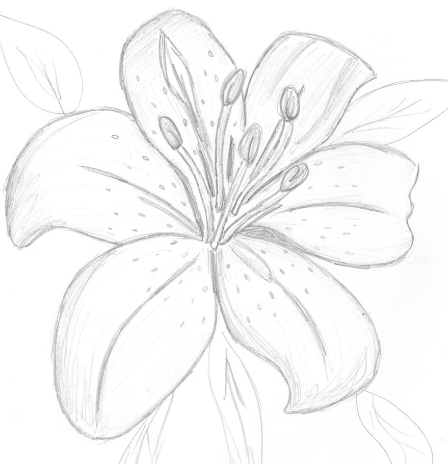 It is a photo of Insane Tiger Lily Flower Drawing