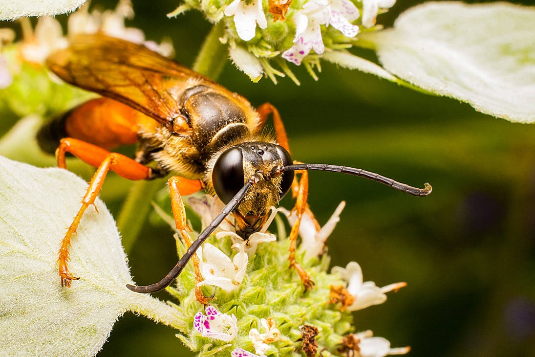 Great Golden Digger Wasp by class-pessimist