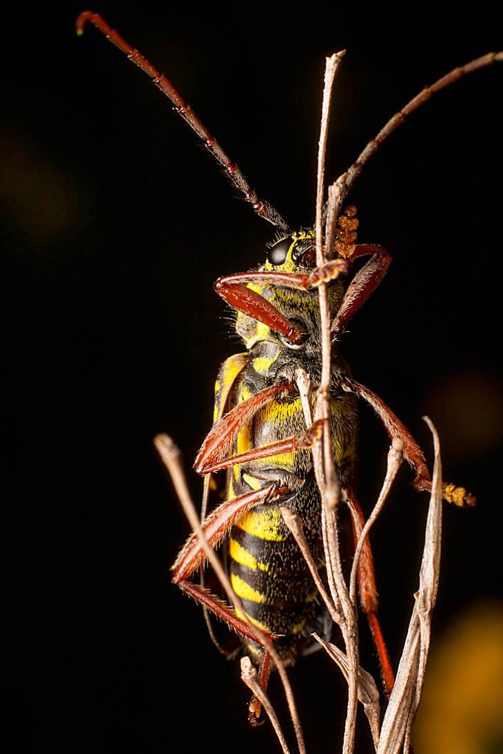 Locust Borer Beetle (Alternate Shot) by Justin-Disgusting