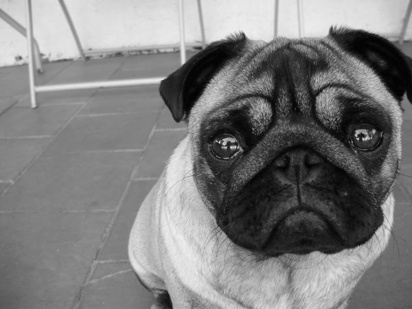 Pug Kodi by Ebony-lee