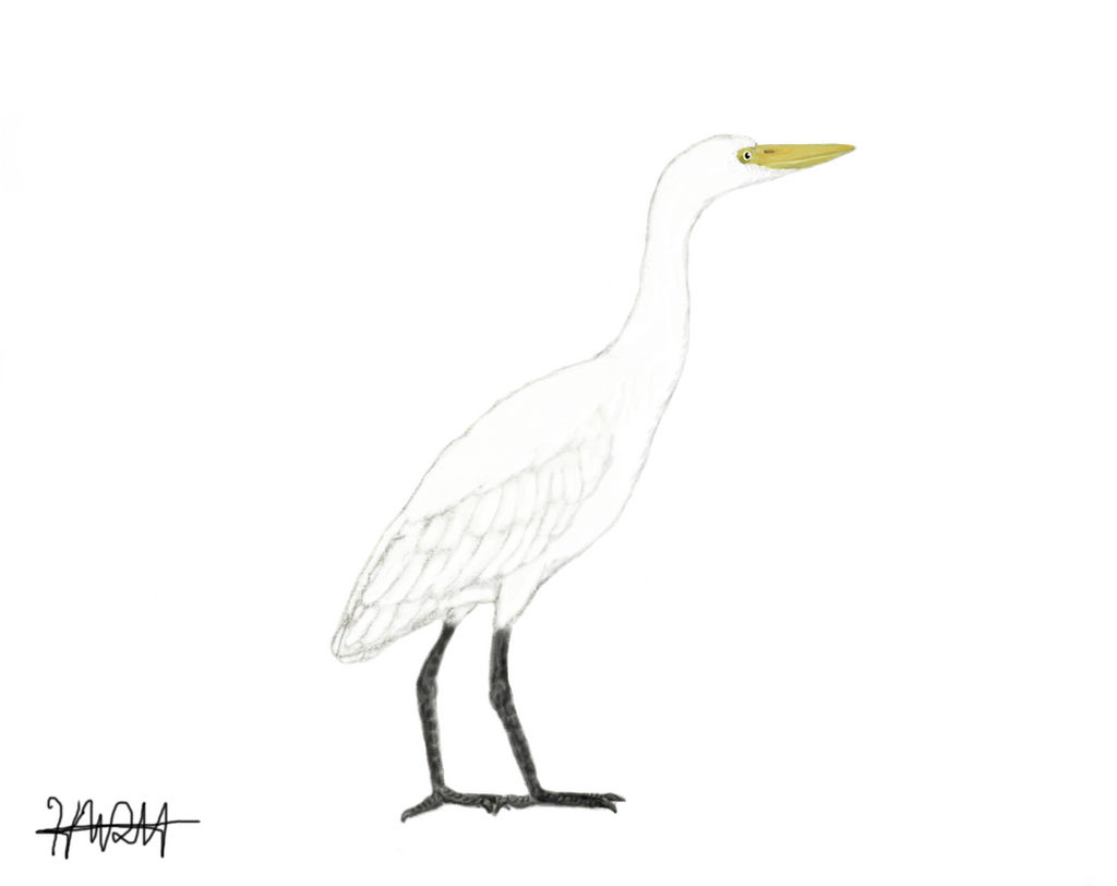Eastern Cattle Egret By Hobostew139 On Deviantart