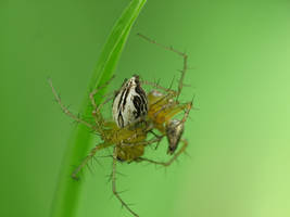 SPIDER TANGO