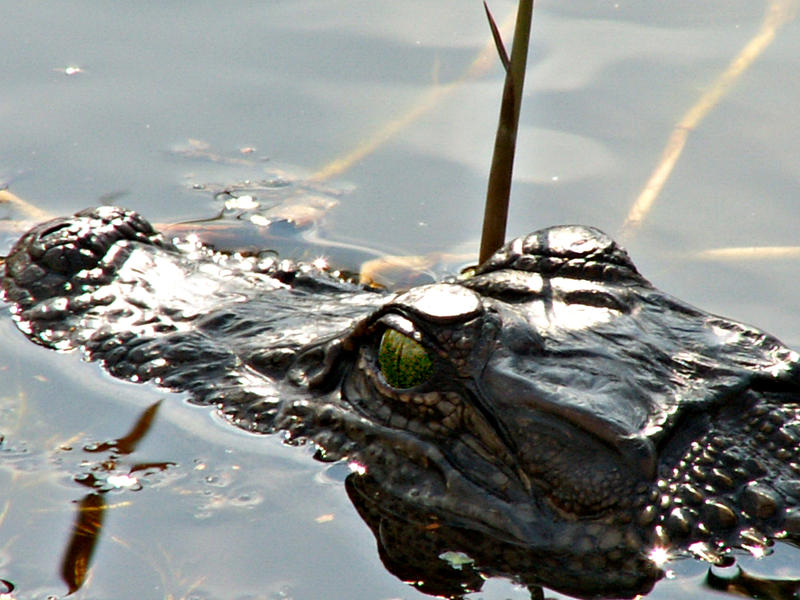 Gator lurking by CorazondeDios