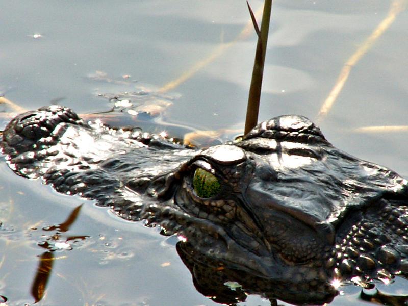 Gator lurking by CorazondeDios