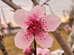 Peach Blossom 2006