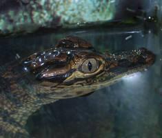 Baby Gator Moonbeam Mouth
