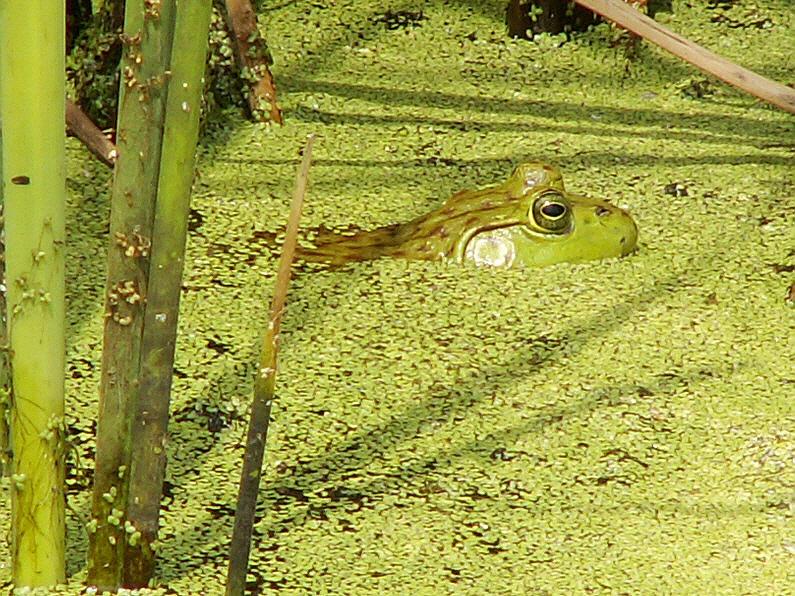 bullfrog by CorazondeDios