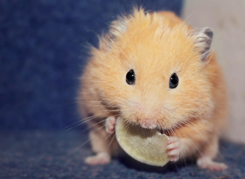 Boris the Hamster by micromeg