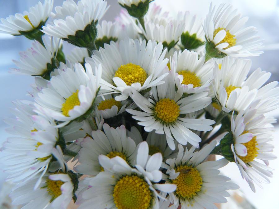 Daisy's by je66