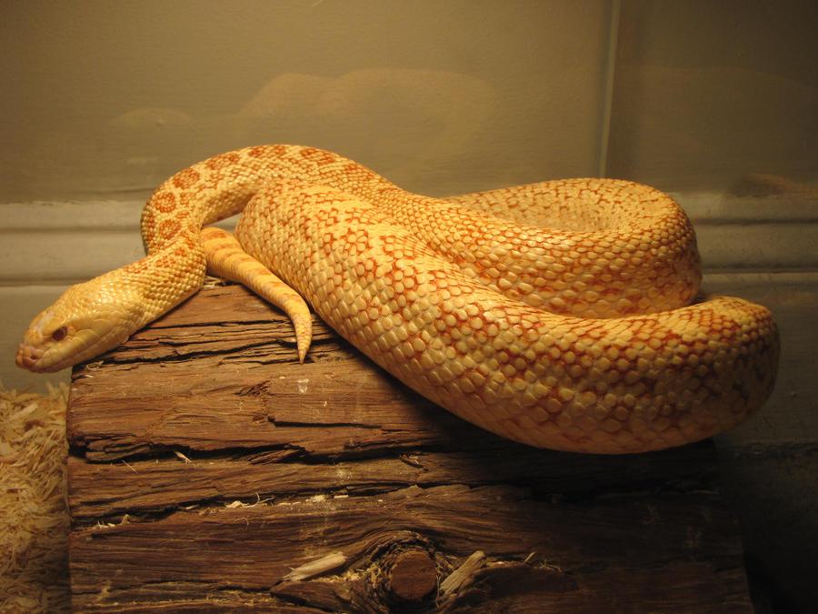 Albino Bull snake by Dubiuscambarid on DeviantArt