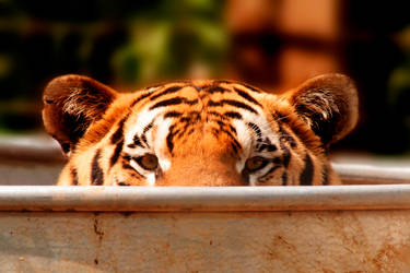 LOLCATS...Err Tiger by ladynightseduction