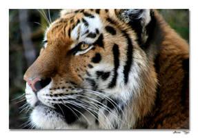 Amur Tiger by ladynightseduction