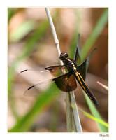 Dragonfly by ladynightseduction