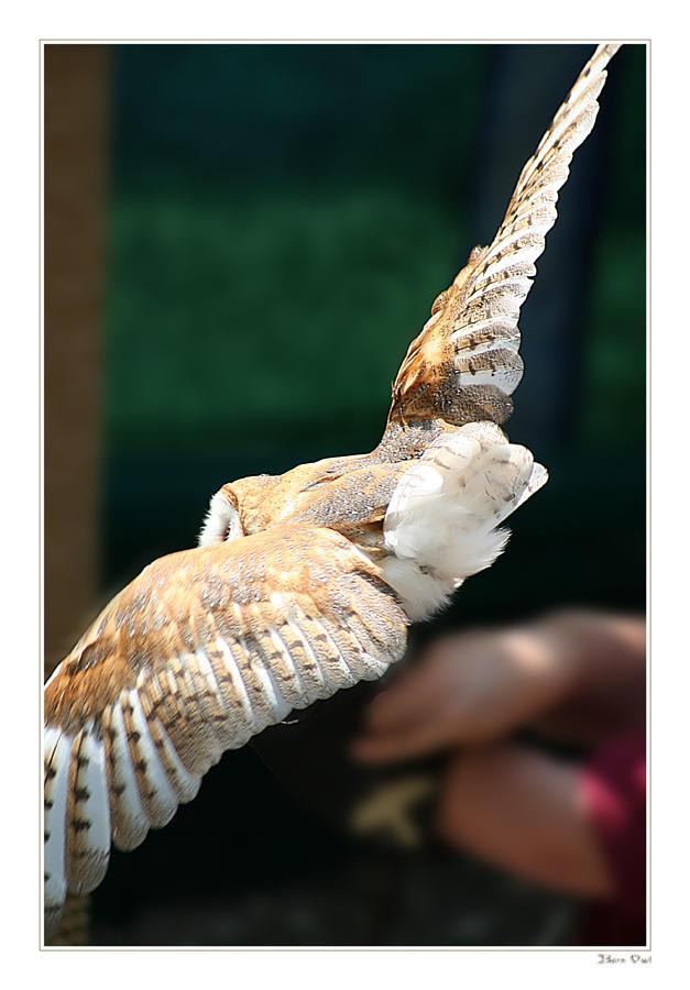 Barn Owl by ladynightseduction