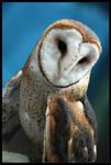 Barn Owl, Again by ladynightseduction