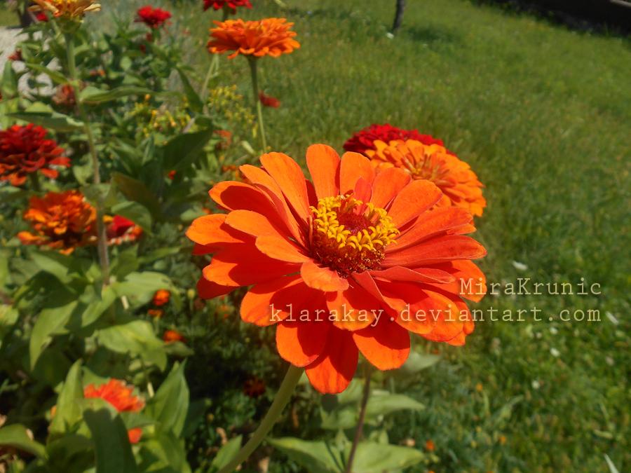 Flower Zinnia 1 by KlaraKay