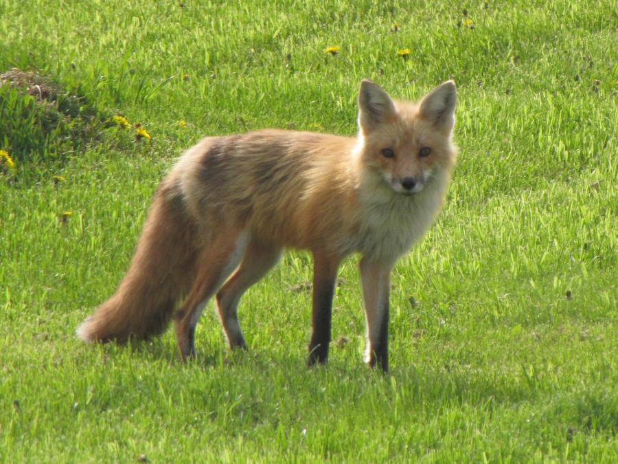 Fox In My Yard 5 by amster2006 on DeviantArt