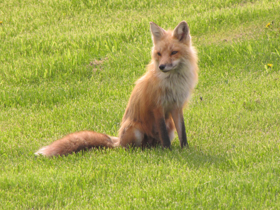 Fox In My Yard 7 by amster2006 on DeviantArt