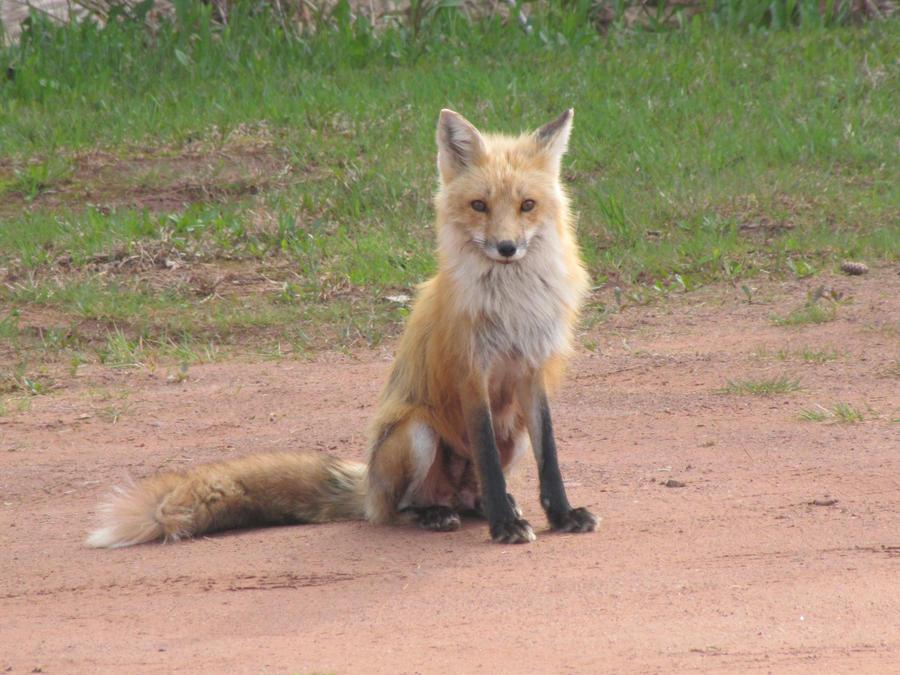 Fox In My Yard 10 by amster2006 on DeviantArt