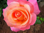 Pink and Peach Rose 4