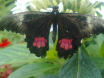 black butterfly by helldog666