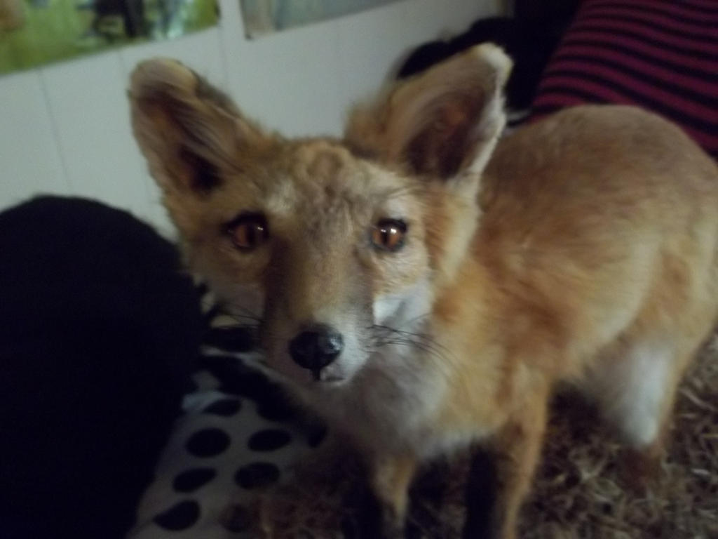 Red Fox Mount (Face Close-up) by Inudragon13 on DeviantArt