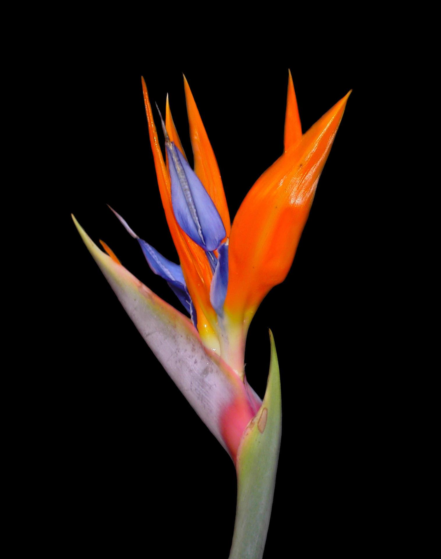 The bird of paradise by tsana on deviantart - Hd images of birds of paradise ...
