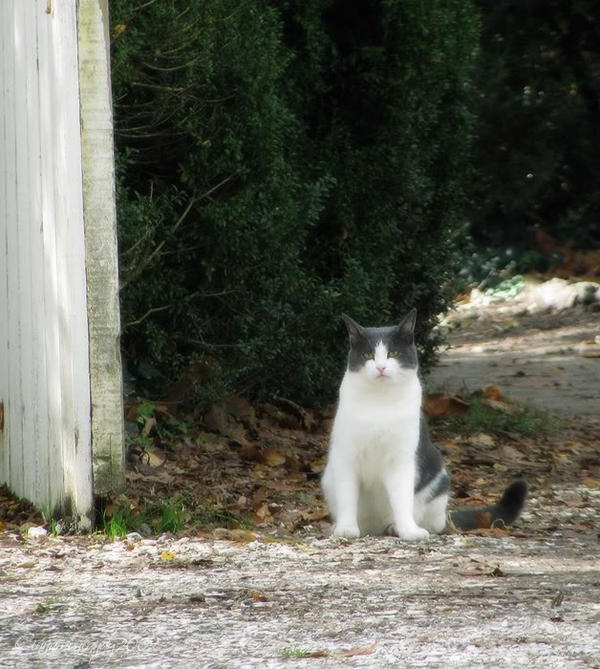 Colonial Kitty