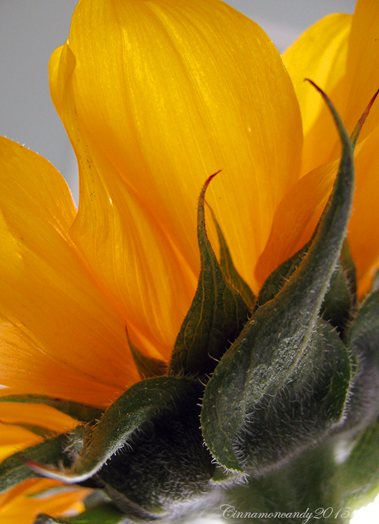 Sunflower by Cinnamoncandy