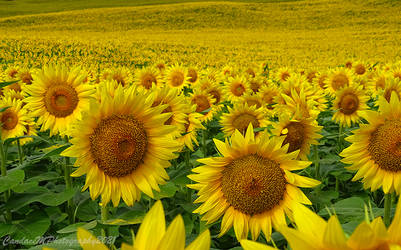 Field of Gold by Cinnamoncandy