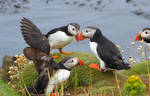 Puffins on Lunga by PepperLady