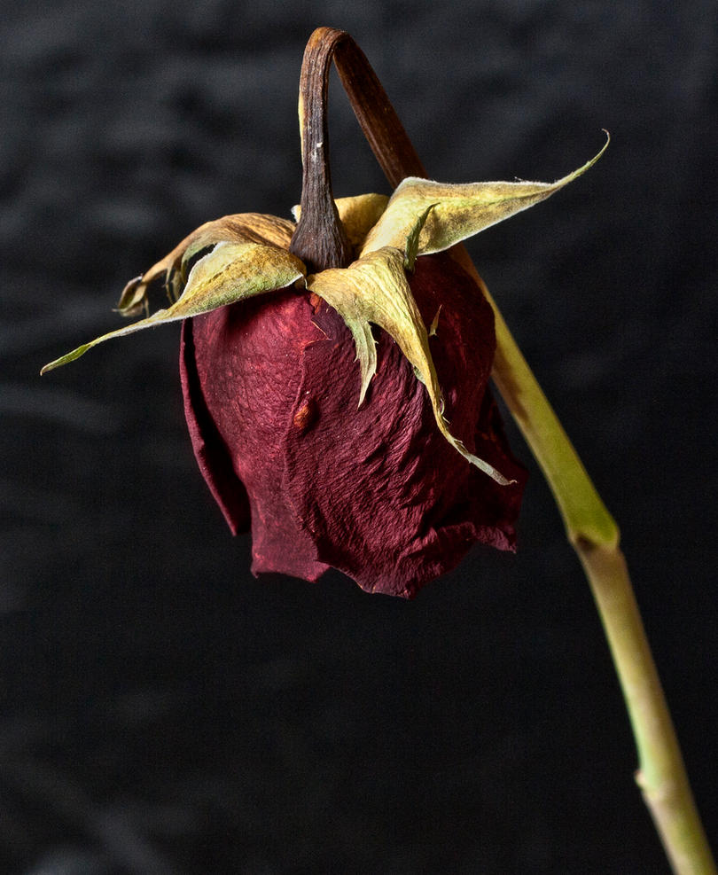 http://pre15.deviantart.net/7551/th/pre/i/2011/061/f/3/dead_rose_by_electricsixx-d3arng3.jpg