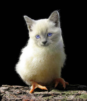 Pussy-chick by Carlsbergensis