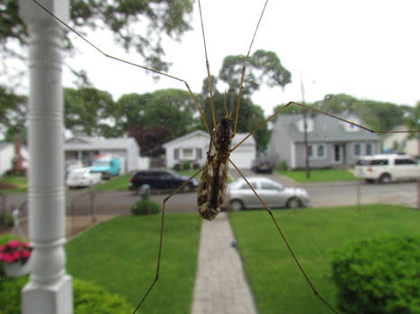 Another Cranefly I Think
