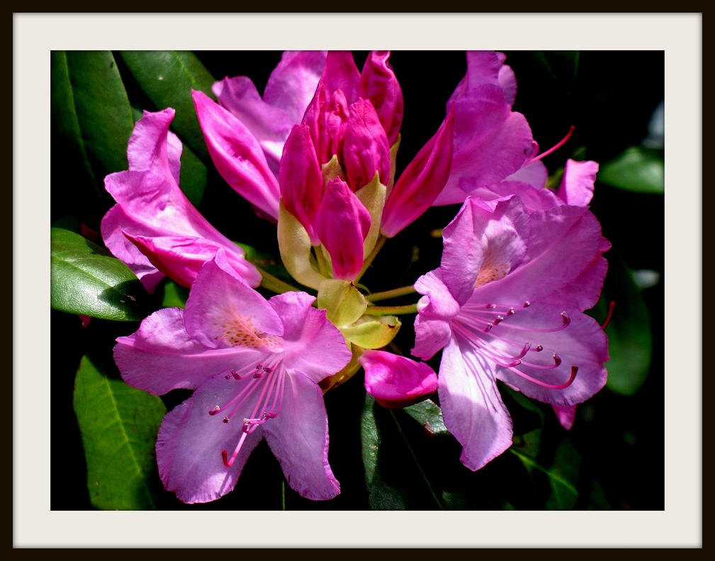 rhododendron by FallisPhoto