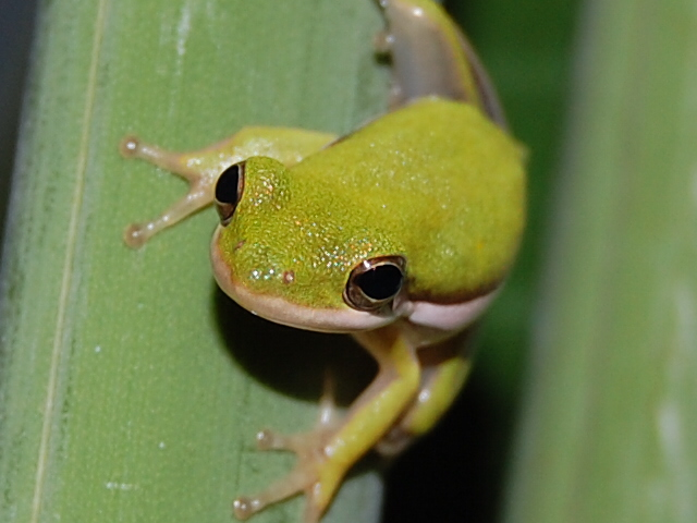 Tree Frog by mylivingphotography