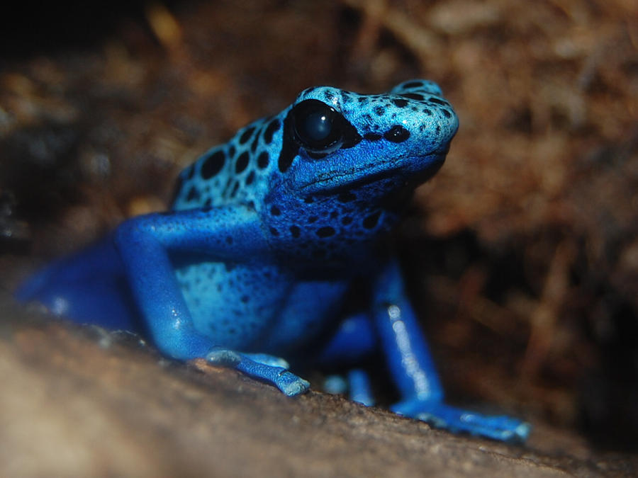 Poisonous Frog by mylivingphotography