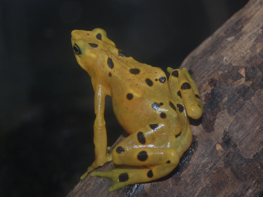 Tree frog yellow by mylivingphotography