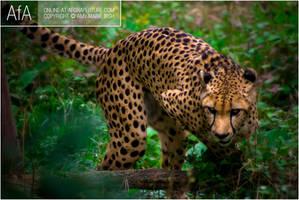 Cheetah by AforAperture