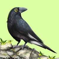 Bird commission: Currawong Pied