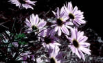 Daisies - Night Effect by LissaMonster