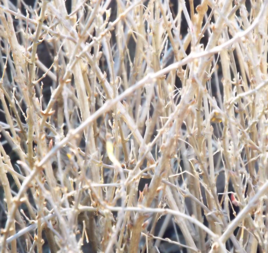 Leafless Bush 01 by LissaMonster