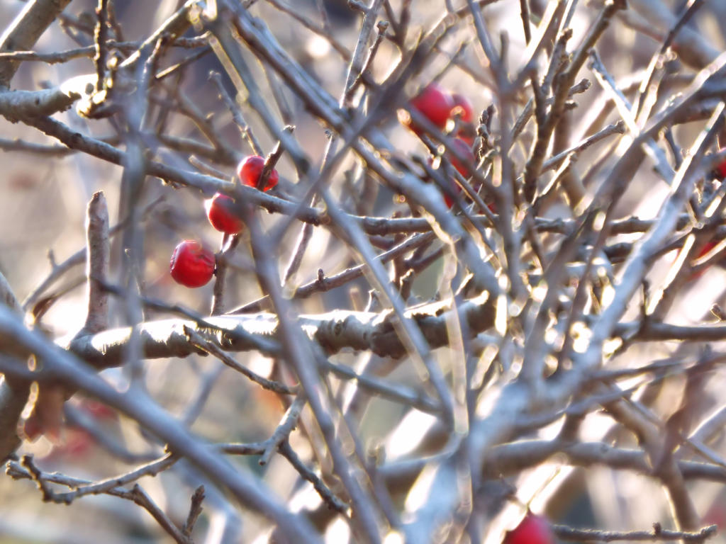 Winterberry 02 by LissaMonster