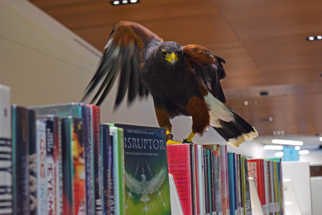 Harris Hawk in the Library by LissaMonster
