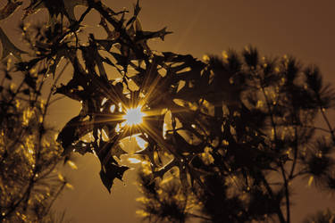 Late Afternoon Sun Through Oak Leaves by LissaMonster