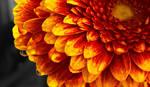 Gerbera Blume / Flower Leiwnandbild by Kunstlab